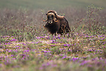 Muskox, Arctic National Wildlife Refuge, Alaska, USA