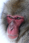 Japanese Macaque, Macaca, fuscata, portrait adult in hot water spring, Jigokudani National Park, Nagano, Honshu, Asia, primates, old world monkeys, snow, macaques, behavior, onsen, red face.Japan....