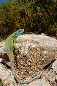 Male Iberian Emerald Lizard (Lacerta schreiberi), Portugal.