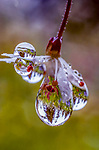 Dewdrops coating a flower reflects the surrounding forest, Cascade Mountains, Washington