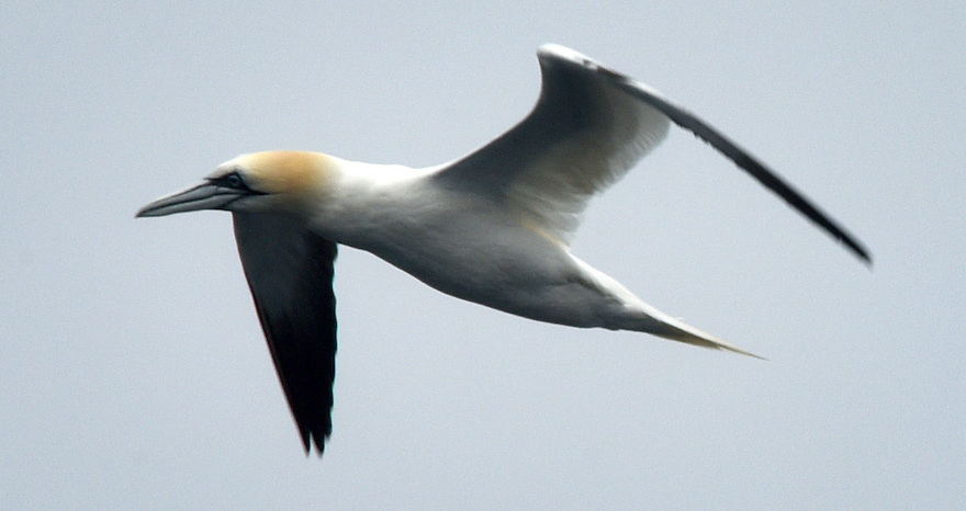 THE ISLES OF SCILLY SEABIRD RECOVERY PROJECT. A GANNET FISHES OFF THE COAST OF ANNET. 17/06/2015. PHOTOGRAPHER CLARE KENDALL.