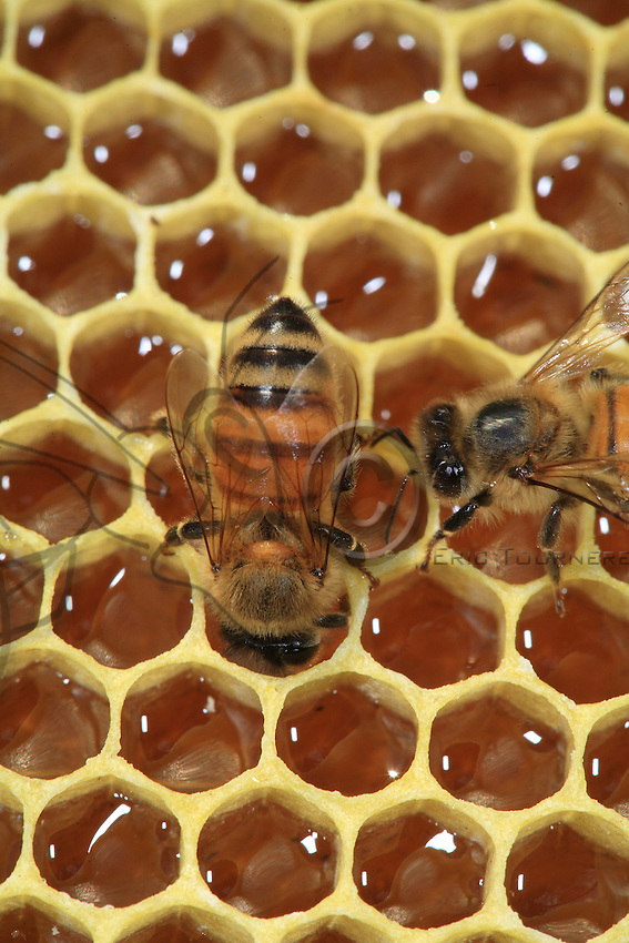 A bee gorges itself with honey on a wax frame with cells full of nectar.