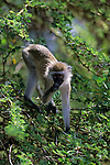 A vervet monkey stands on the branches of a tree in Africa.