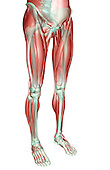 An anterolateral view (right side) of the musculoskeleton of the lower body. Royalty Free
