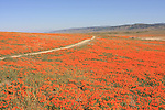 Trail in California poppies at California Poppy Reserve in Antelope Valley
