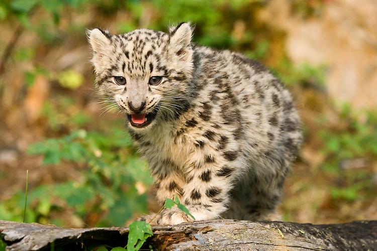 Snow Leopard kitten standing on an old log - CA