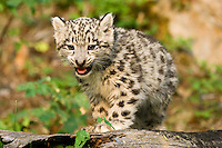 Snow Leopard kitten standing on an old log - CA