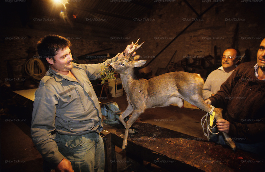 HUNTING WILD DEER, France. Ardeche.   A chevreuil, a deer  is butchered, deers are shot on a tight quota basis, Wild boar & deer hunting with hounds. A pursuit which is loved by some and hated by others. The hunters say hunting is natural, their opposers say it is bloodthirsty. There are millions of guns and it is a popular bloodsport.
