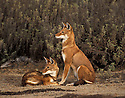 Ethiopian wolves.Bale mountains. Ethiopia.
