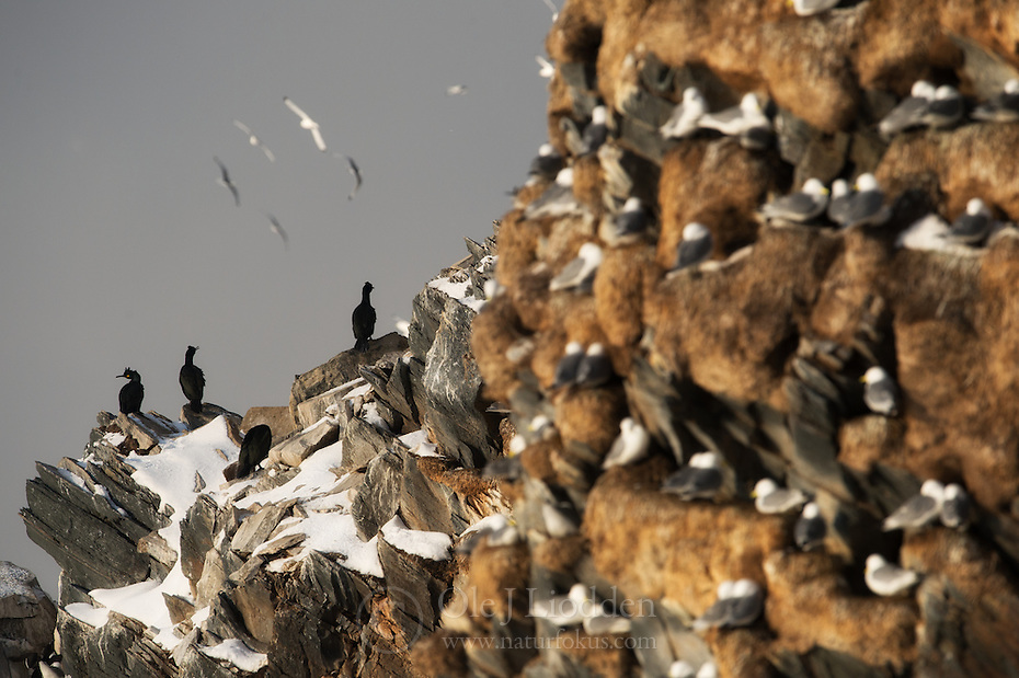 Bird cliff with Common Shag (Phalacrocorax aristotelis), Hornøya, Finnmark, Norway