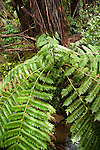 New Zealand, South Island: Silver fern in landscape near Tonga Quarry along the Abel Tasman National Park coast. Photo copyright Lee Foster. Photo # newzealand125122