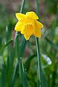 Daffodil (Narcissus 'Dutch Master'), mid March.