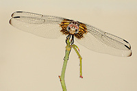 Checkered Setwing female (Dythemis fugax)