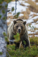 Grizzly bear during autumn in Wyoming