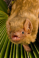 Northern Yellow Bat head (Lasiurus intermedius), Texas, USA