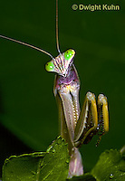 1M38-329z  Praying Mantis adult displaying in praying position - Tenodera aridifolia sinensis