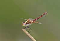 362700002 a wild male band-winged meadowhawk symeptrum semicinctum perches on a plant on pintail slough in havasu national wildlife refuge mojave county arizona united states