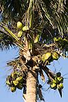 Taveuni, Fiji; a coconut palm tree against a blue sky