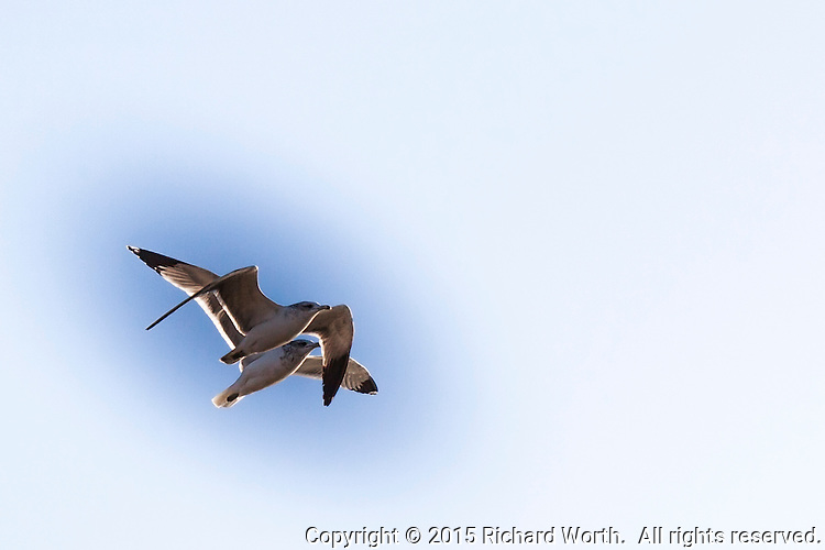 Two gulls, flying, upper left, against a horizontal background with ample room for text / copy.