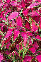 Solenostemon (Coleus) 'Winsome' annual foliage plant with leaf colors of pink red with green edges. RHS Award of Garden Merit AGM