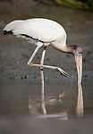 A juvenile wood stork fishes along a mud bank at low tide in the May River.