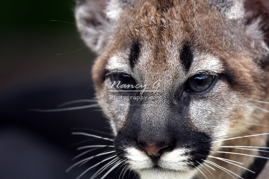 A baby cougar or Mountain Lion at the DeYoung Family Zoo Michigan