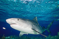 Tiger Shark Images
