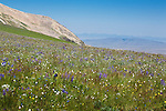 Mid summer wildflowers on the open ridges in the Snowcrest Mountains of Montana
