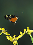 Melinaea messatis Butterfly, in flight, Costa Rica, High Speed Photographic Technique, flying, tropical jungle.Costa Rica....