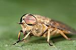 Horse Fly, Tabanus bromius, macro close up showing large compound eye.United Kingdom....