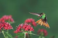 Buff-bellied Hummingbird, Amazilia yucatanenensis, male in flight over Penta flowers, Sinton, Coastel Bend, Texas, USA