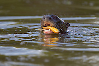 Giant Otter (Pteronura brasiliensis), Pantanal, Brazil