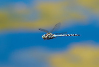 339570012 a wild male paddle-tailed darner aeshna palmata flies over one of the ponds at de chambeau ponds north of lee vining mono county california united states
