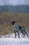 German Shorthair Pointer<br />