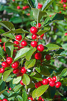 Ilex verticillata 'Red Sprite' berries