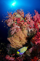 A Regal Angelfish, Pygoplit diacanthus, meanders among colorful soft corals and gorgonians on a steep dropoff known as Purple Haze. Barren Island, Andaman Islands, India, Andaman Sea