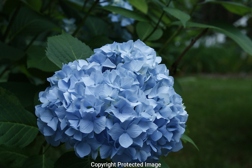 Hydrangea in Freeport Maine