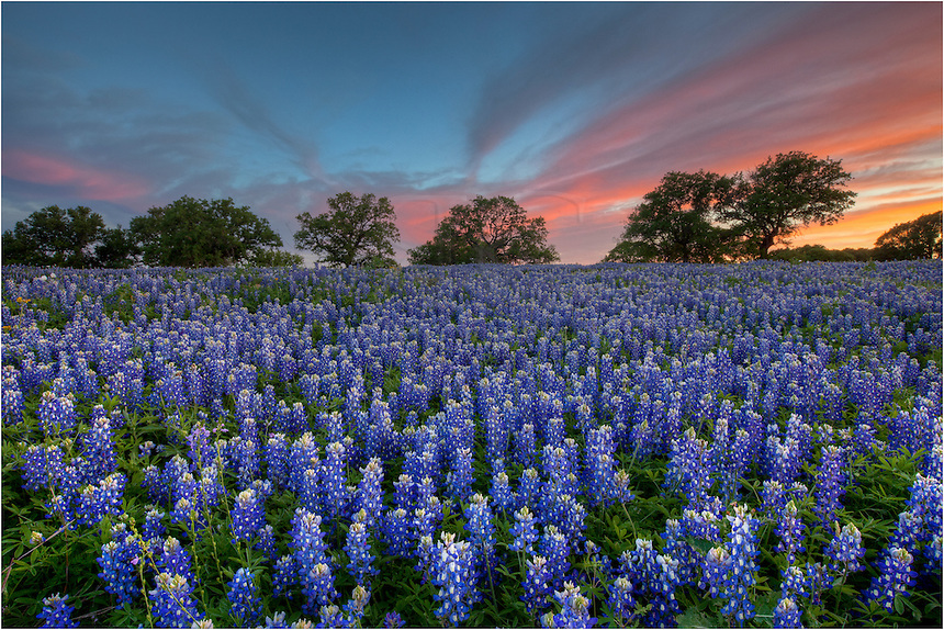 Alone in a bluebonnet field - this is how I found myself after a spring storm had passed, leaving the sky painted in reds and purples. I was surrounded by the scent of Texas bluebonnets on that absolutely still Texas Hill Country evening in San Saba County- a wonderful experience I will not soon forget. This image of Texas bluebonnets is just one of many from that memorable evening.
