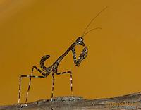 1110-0809  Malaysian Dead Leaf Mantis Nymph, Deroplatys lobata © David Kuhn/Dwight Kuhn Photography