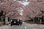 """A woman, who went by the name of Miki, takes photos of the cherry blossom along a street famed for having one of Japan's longest cherry blossom """"tunnels"""" in Tomioka, Fukushima Prefecture one Japan on Wednesday 20 April  2011. The woman, a former nuclear power plant employee, was visiting the town -- which falls inside now legally enforced evacuation zone -- to see the famed cherry trees and pick up some belongings from her home..Photographer: Robert Gilhooly"""