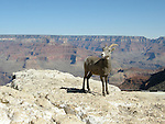 Bighorn Sheep, Desert, Grand Canyon, Arizona, ewe