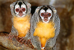 Owl monkeys on tree branch