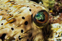 Eye of a Pufferfish<br />