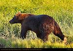 Alaskan Coastal Brown Bear, Male in Sedge Grass at Sunset, Silver Salmon Creek, Lake Clark National Park, Alaska