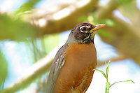 Close up of an American robin perched in a tree