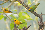 Female red-headed barbet, Eubucco bourcierii, and two golden tanagers, Tangara arthus goodsoni. Tandayapa Valley, Ecuador