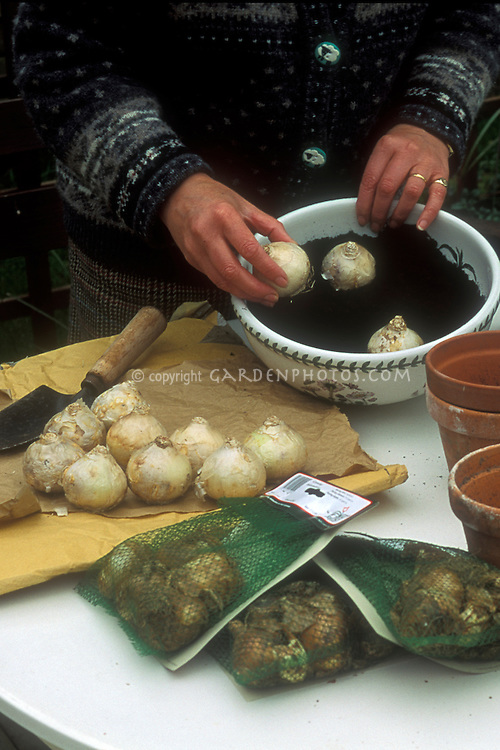 Planting hyacinth bulbs for indoor forcing in bowls, with bagged bulbs, table, person's hands, potting soil, trowel, pots
