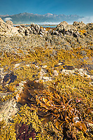 Rocky shores of Kaikoura coastline with seaweed, Kaikoura, Marlborough Region, South Island, East Coast, New Zealand