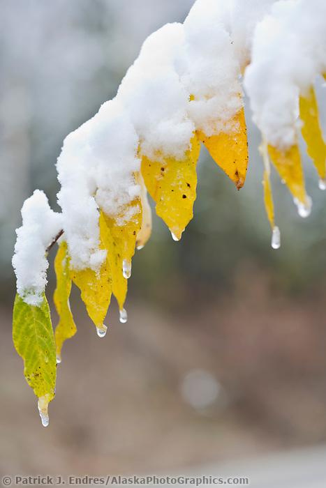 Fresh snow on yellow Balsam Poplar leaves, Fairbanks, Alaska