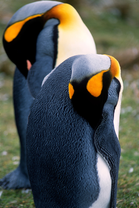King penguins rest at a rookery on the Falkland Islands.